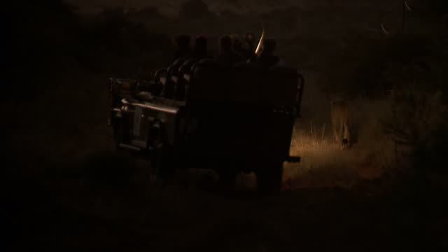 ws view of vehicle driving along dirt road behind lions at night, thanda private game reserve / kwazulu-natal, south africa - 自然保護区点の映像素材/bロール