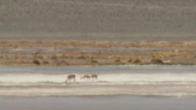 WS View of Vicunia, Vicugna vicugna grazing in heat haze on altiplano in Andes mountains / San Pedro de Atacama, Norte Grande, Chile