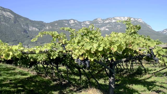 vidéos et rushes de view of vineyard near lake kaltern. - raisin noir