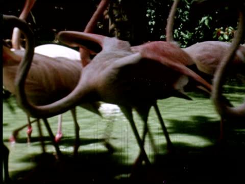 cu  view of walking  flamingos in water , nassau, new providence, bahamas / audio - walking in water stock videos & royalty-free footage