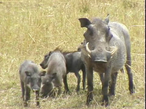 ms view of wart hog with piglets  - cinque animali video stock e b–roll
