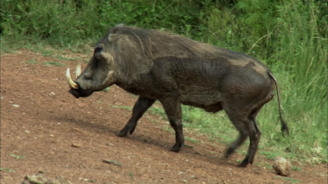 vídeos de stock, filmes e b-roll de ws ts pan view of warthog walking and joining with group of young warthog / pilanesberg nature reserve, north west, south africa - javali africano
