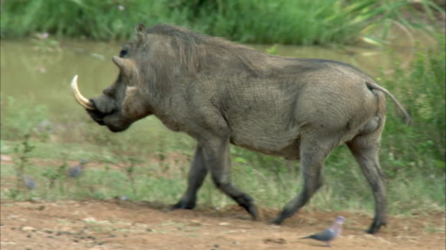 vídeos de stock, filmes e b-roll de ws ts pan view of warthog walking in reed bed / pilanesberg nature reserve, north west, south africa - javali africano