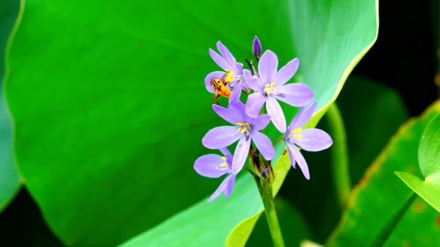 view of water hyacinth (floating plant) and hosta plantaginea (lily) - ヒヤシンス点の映像素材/bロール