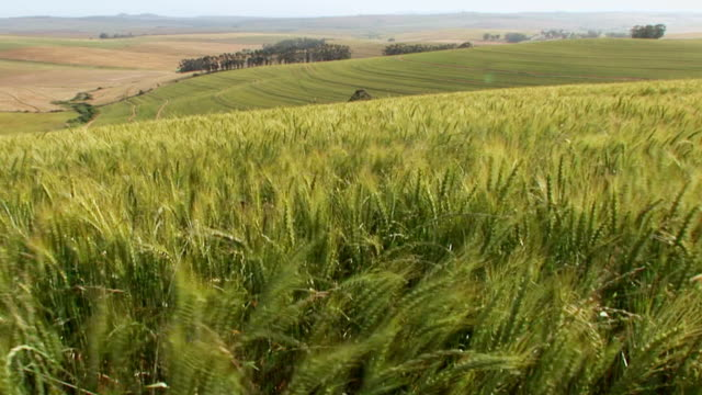 WS View of waving wheat field / Western Cape, South Africa