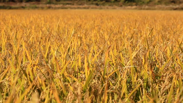 View of well ripened golden rice paddy