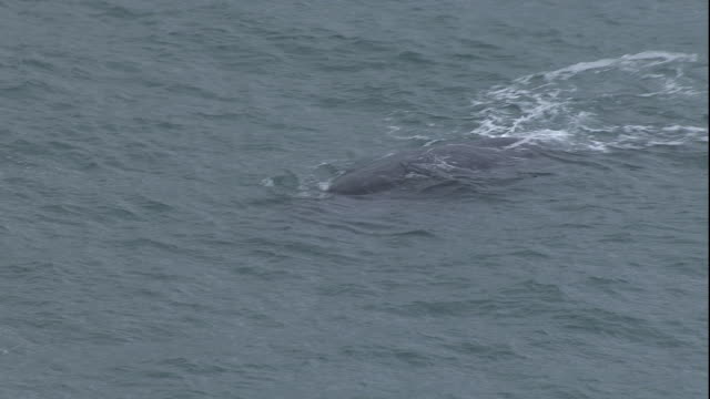 ws view of whale swims in south african waters / cape of good hope, western cape, south africa  - ケープ半島点の映像素材/bロール