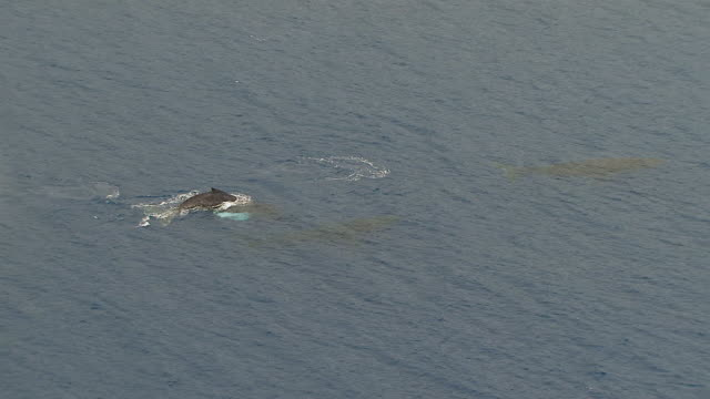 vidéos et rushes de ws zo aerial view of whales swimming in ocean near island of maui / hawaii, united states - cétacé