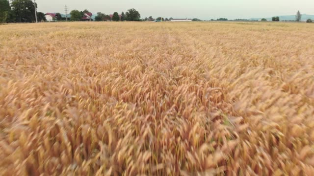 stockvideo's en b-roll-footage met zicht op tarwe veld - volkorentarwe