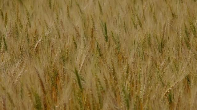 vídeos de stock e filmes b-roll de cu td zi r/f view of wheat field - trigo