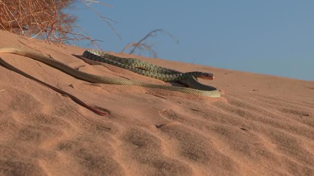MS ZO View of Whip snake Very long whip snakeon desrt sand / eilat, negev desert, Israel