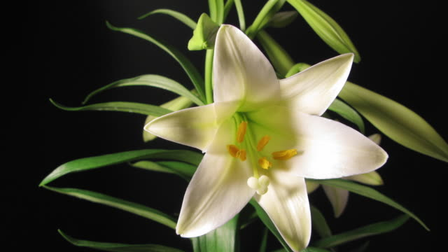 CU T/L View of white lily blooming / New York City, New York, USA