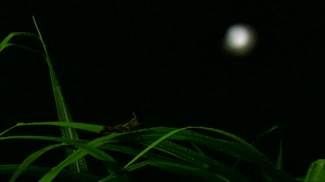 view of white moon and a cricket on the green leaves in hallasan national park at night - grillo insetto video stock e b–roll