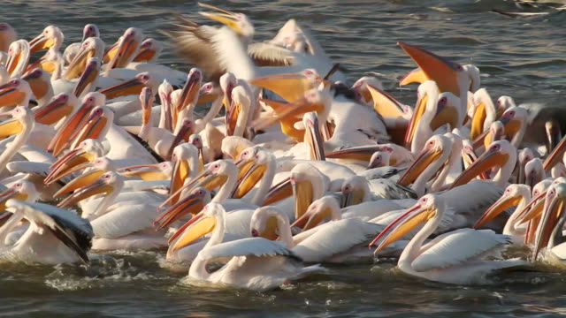 ms view of white pelican (pelecanus onocrotalus) flock in fish pond and fidding project for migrating pelicans / hdera, mediterranean, israel - pelican stock videos & royalty-free footage