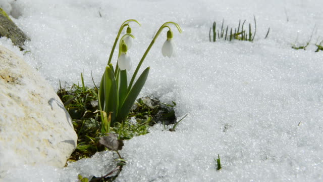 ms view of white snowdrops (galantus) grow in snow / landshut, bavaria, germany - snowdrop stock videos and b-roll footage