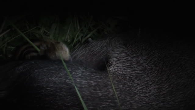 View of wild baby pig taking breast milk in the dark in DMZ (Demilitarized zone, A strip of land running across the Korean Peninsula), South korea