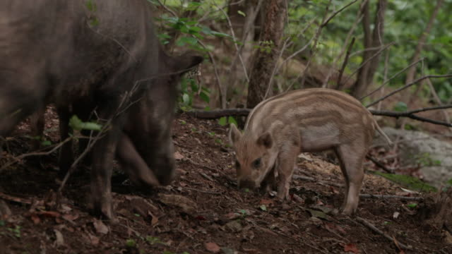 View of wild baby pigs in the forest near DMZ (Demilitarized zone, A strip of land running across the Korean Peninsula), South korea