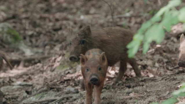 view of wild baby pigs on the ground in dmz (demilitarized zone, a strip of land running across the korean peninsula), south korea - boar stock videos & royalty-free footage