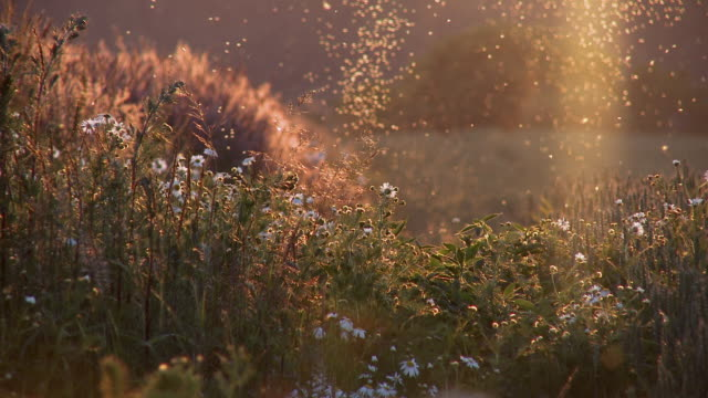 MS View of wild flowers and insects in field at sunset / Denmark