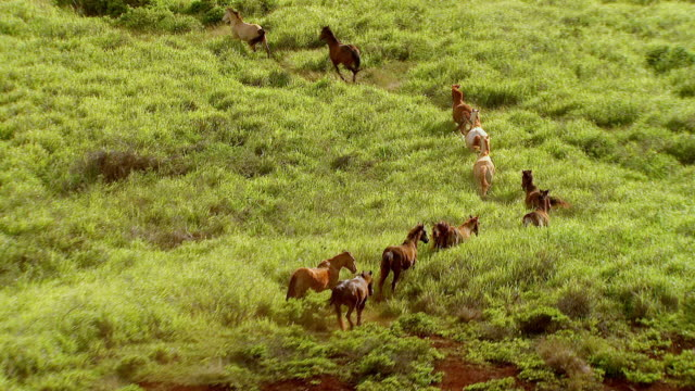stockvideo's en b-roll-footage met ws zi ts aerial view of wild horse running through open land on island of lanai / hawaii, united states - grote groep dieren