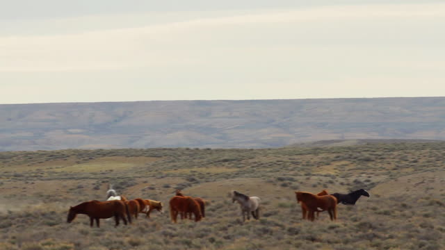 ws pan view of wild horse stallion chases off another male from his heard of mares / sand wash basin, colorado, united states - stallion stock videos & royalty-free footage