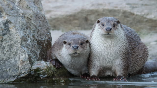 view of wild otters out of water in dmz (demilitarized zone, a strip of land running across the korean peninsula), south korea - two animals stock-videos und b-roll-filmmaterial