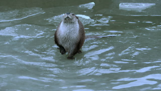 view of wild otters out of water in dmz (demilitarized zone, a strip of land running across the korean peninsula), south korea - otter stock videos & royalty-free footage