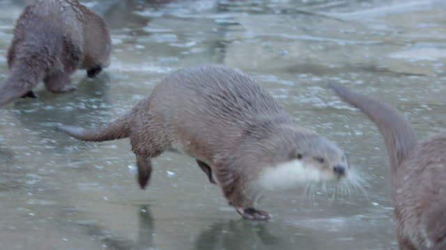 view of wild otters playing on the ice in dmz (demilitarized zone, a strip of land running across the korean peninsula), south korea - otter stock videos & royalty-free footage