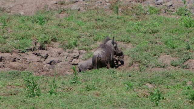 WS SLO MO View of Wild pig playing in the mud / Pilanesberg, Gauteng, South Africa