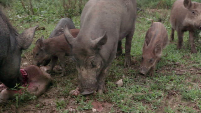 View of wild pigs eating the dead wild baby pig in DMZ (Demilitarized zone, A strip of land running across the Korean Peninsula), South korea