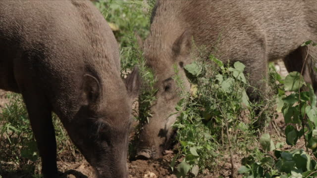 View of wild pigs on the ground in DMZ (Demilitarized zone, A strip of land running across the Korean Peninsula), South korea