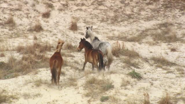 WS AERIAL View of Wild ponies running on Cumberland Island / Georgia, United States