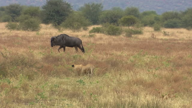 ws ts view of wildebeest being stalking by lioness, pilanesberg game reserve / north west province, south africa - lion stock videos & royalty-free footage