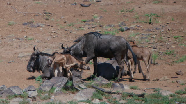 WS SLO MO View of  Wildebeest with young / Pilanesberg, Gauteng, South Africa