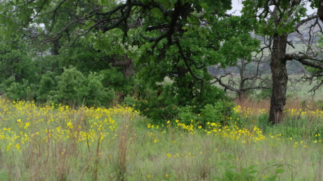 ws pan view of wildflowers in meadow / wichita mountains wildlife refuge, oklahoma, united states - wichita stock-videos und b-roll-filmmaterial