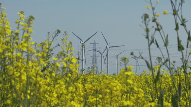 WS View of wind turbines and electricity pylons through rape seed crop / Walland Marsh, Sussex, UK
