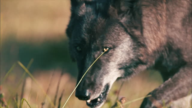 stockvideo's en b-roll-footage met view of wolf walking at yellowstone national park - yellowstone national park