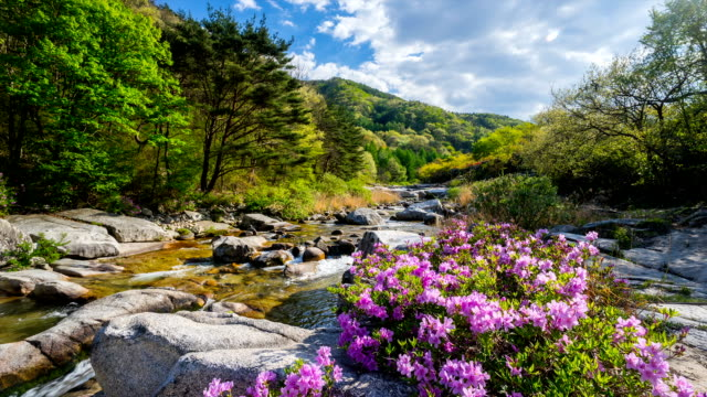 stockvideo's en b-roll-footage met view of wolseong valley with rhododendron yedoense flowers - vallei