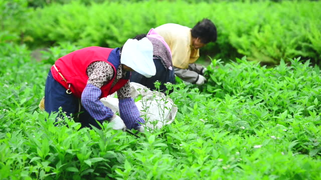 ws view of women farmers harvesting in field in naribunji (one and only flatland in uleungdo island) / uleung, gyeongsangbuk-do, south korea - effort video stock e b–roll