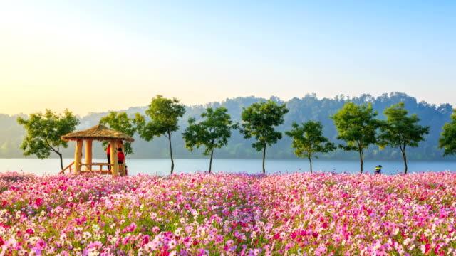 view of wondumak(lookout hut) and cosmos flower bed at the hangang park - korea点の映像素材/bロール