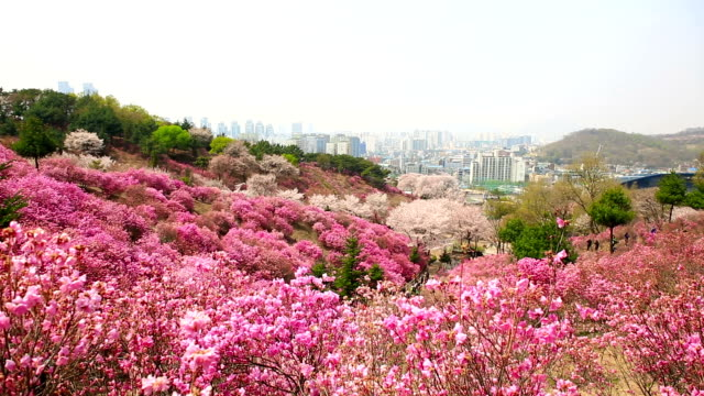 view of wonmisan mountain with cherry blossom and azalea in spring - heather stock videos & royalty-free footage