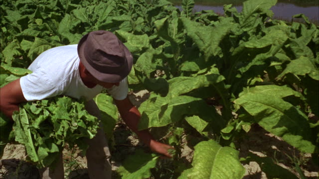 ms pan view of worker working in tobacco field  - tobacco crop stock videos & royalty-free footage