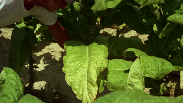 ms pan view of worker working in tobacco field  - one mature man only stock videos & royalty-free footage