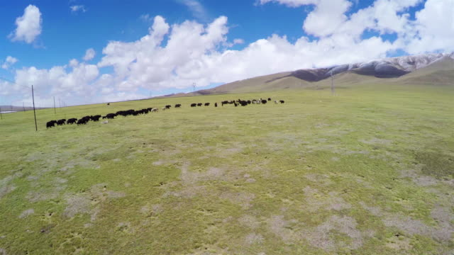 ws aerial view of yak in qinghai grassland plateau/qinghai,china. - yak stock videos & royalty-free footage