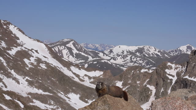 WS View of yellow bellied marmot perches on rock with snow covering mouintain range in back side / Idaho springs, Colorado, United States