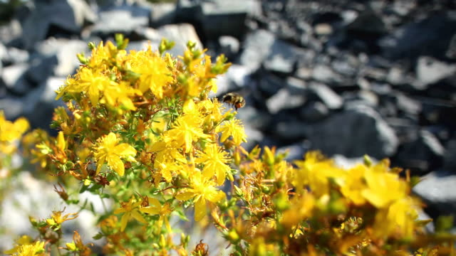 cu zi zo view of yellow flowers and bee / squamish, british columbia, canada - squamish stock videos & royalty-free footage