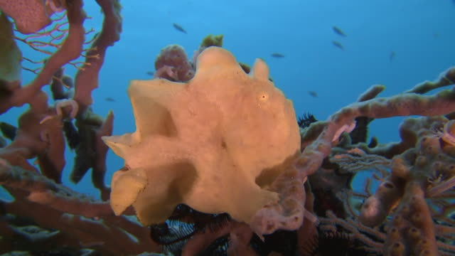 MS View of Yellow gaint frogfish / Visayan Islands, The Visayans, Philippines