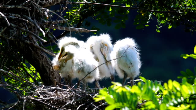 view of young egretta alba modestas - north gyeongsang province stock videos & royalty-free footage