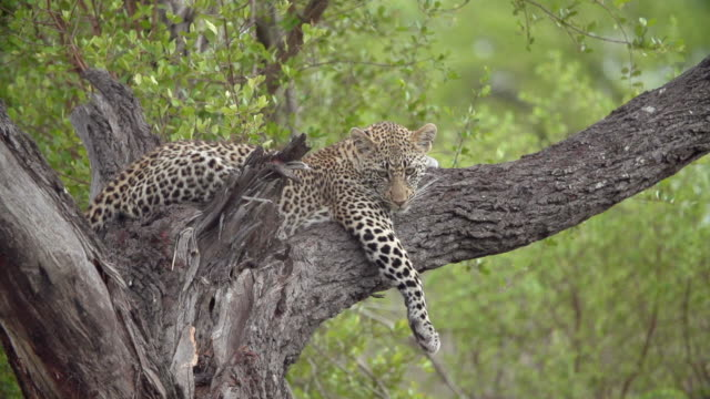 ms view of young leopard resting on tree / kruger national park, mpumalanga, south africa - mpumalanga province stock videos and b-roll footage