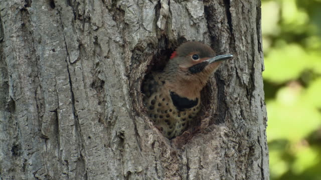 cu view of young northern flicker in tree cavity waiting for parent / moira river at madoc, ontario, canada - 隠れる点の映像素材/bロール
